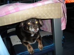 Lady, chien Pinscher