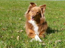 Lady, chien Berger australien