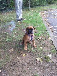 Lady, chien Boxer