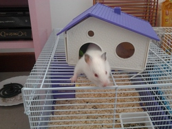 Lady, rongeur Hamster