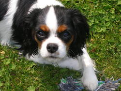 Lady, chien Cavalier King Charles Spaniel