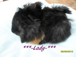 Lady, rongeur Cochon d'Inde