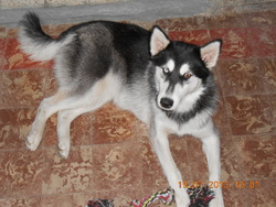 Lady, chien Husky sibérien