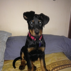 Lady Hawk, chien Beauceron