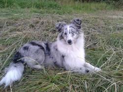 Lady Nyméria, chien Berger des Shetland