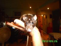 Lady-Rara, rongeur Rat