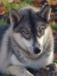 Lady Sansa, chien Husky sibérien
