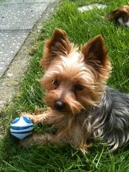 Lafleur, chien Yorkshire Terrier