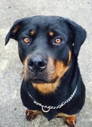 Lahna, chien Rottweiler