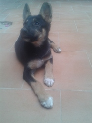 Laica, chien Berger allemand