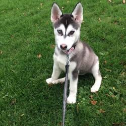 Laika, chien Husky sibérien