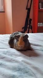 Laika, rongeur Cochon d'Inde