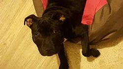 Laika, chien Staffordshire Bull Terrier