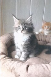 Laika, chat Maine Coon