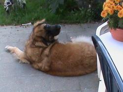 Laika, chien Leonberger