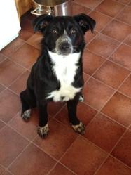 Laika, chien Border Collie