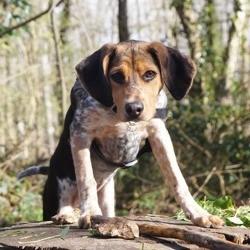 Laika, chien Beagle