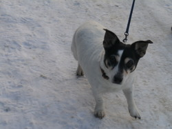 Laika, chien Jack Russell Terrier