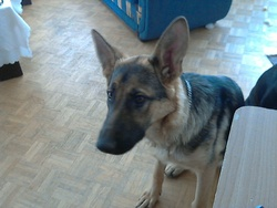 Laika, chien Berger allemand