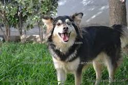 Laika, chien Berger finnois de Laponie