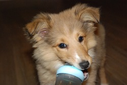 Laika, chien Berger des Shetland