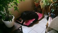 Laika, chien Labrador Retriever