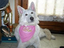 Laika, chien Berger blanc suisse