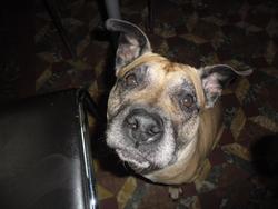 Laika, chien American Staffordshire Terrier