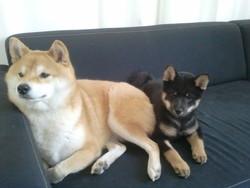 Laika, chien Shiba Inu