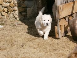 Laika, chien Golden Retriever