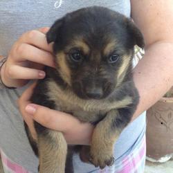Laîka, chien Berger allemand