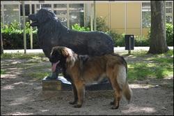 Laika Lions From D'Es, chien Leonberger