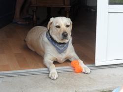 Laikha, chien Labrador Retriever