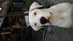 Laiko, chien Dogue argentin