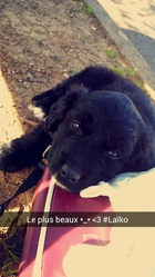 Laiko, chien