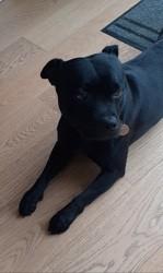 Laiko, chien Staffordshire Bull Terrier