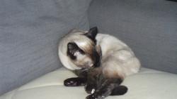 Laila, chat Siamois