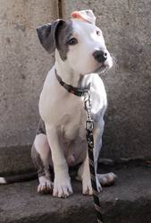 Laios, chien American Staffordshire Terrier