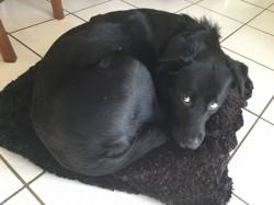 Lajka, chien Husky sibérien