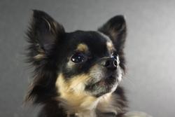 Lakota Cheyenne Goes On, chien Chihuahua