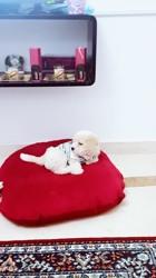 Laky, chien Bichon maltais