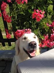 Lada, chien Golden Retriever