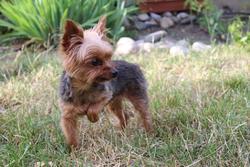 Lalie, chien Yorkshire Terrier
