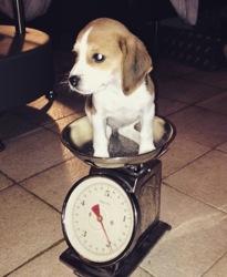 Lalie, chien Beagle
