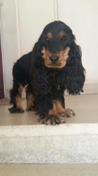 Lalou, chien Cocker anglais