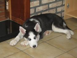 Laly, chien Husky sibérien