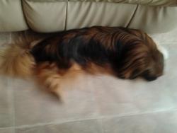 Laly, chien Shih Tzu