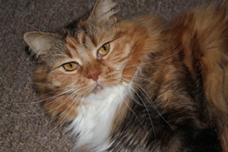 Laly, chat Maine Coon