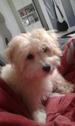 Laly, chien Bichon maltais