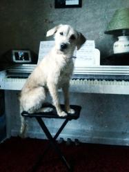 Laly, chien Grand Griffon vendéen